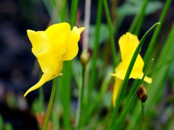 Horned Bladderworts